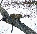 Leopard (Panthera pardus) female resting in a tree ... (51217971084).jpg
