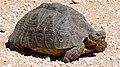 Leopard Tortoise (Stigmochelys pardalis) (6568380379).jpg