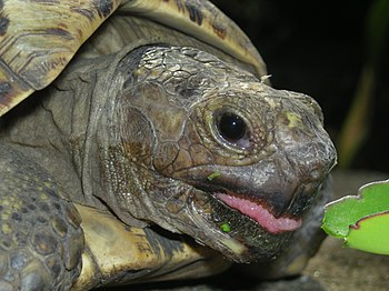 English: Leopard Tortoise just about to munch!...