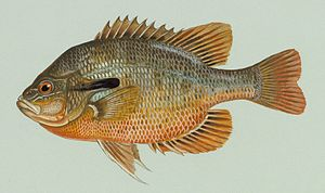 Lepomis - Redbreast sunfish (L. auritus), the type species of the genus