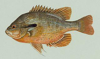 Redbreast sunfish species of fish