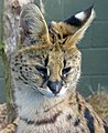 Leptailurus serval -Trotters World of Animals, Bassenthwaite, Cumbria, England-8a.jpg