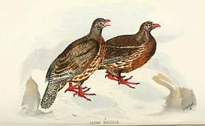 Snow partridge - Illustration from Hume and Marshall's Game birds of India (1890)