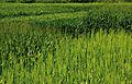 Les Plantes Cultivades. Cereals. Imatge 121.jpg