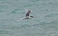 Lesser Crested Tern (Thalasseus bengalensis) 1 (30539552634).jpg