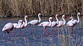 Lesser Flamingo, Phoenicopterus minor at Marievale Nature Reserve, Gauteng, South Africa (21498522181).jpg