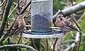 Lesser Redpolls, Cradley, Malvern, Worcestershire.jpg