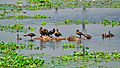 Lesser Whistling Ducks and Eurasian Coot at Pananjadi Lake.jpg