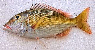<i>Lethrinus atkinsoni</i> species of fish