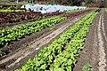 Lettuce after frost (8173444891).jpg