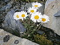 Leucanthemopsis alpina 01.JPG