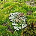 Lichen ^ moss - Flickr - Stiller Beobachter.jpg
