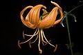 Lilium lancifolium fma. concolor 'No Spots' Thunb., Trans. Linn. Soc. London 2, 333 (1794) - Flickr - sunoochi (3).jpg