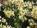 Linaria from Lalbagh flower show Aug 2013 7945.JPG