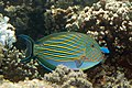 Lined surgeonfish Acanthurus lineatus (striped surgeonfish) (5847346028).jpg