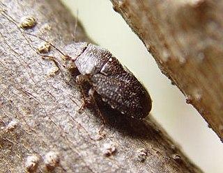 <i>Lineostethus tenebricornis</i> Species of true bug