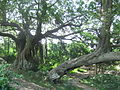 Lingshan Islamic Cemetery - old banyan trees - DSCF8462.JPG