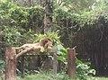 Lion in Zoo Negara Malaysia (3).jpg