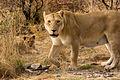 Lioness (3685502702).jpg
