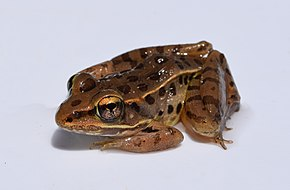 Description de l'image Lithobates sphenocephalus adult 1.jpg.