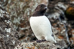 Little Auk (js) 24