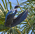 Little Blue Heron in flight by Bonnie Gruenberg.jpg