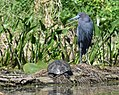 Little Blue Herons (33512765803).jpg