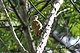 Little Woodpecker (Veniliornis passerinus).jpg