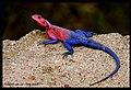 Lizard (2550223283).jpg