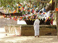 Sri Mahabodhi, der älteste Baum, dessen Geschichte vollständig dokumentiert ist