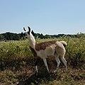 Llama In Field.jpg
