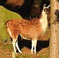 Llamas (33778615835).jpg