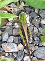 Locusta migratoria beside river - 2.jpg