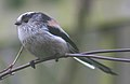 Long tailed tit (239546607).jpg