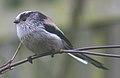 Long tailed tit (239546607).jpg