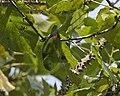 Loriculus vernalis -Kerala -India-3.jpg