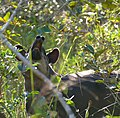 Lowland Tapir (Tapirus terrestris) registering my presence ... - Flickr - berniedup.jpg