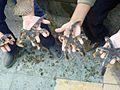 Luidia magellanica.jpg
