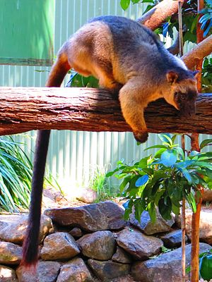 David Fleay Wildlife Park - Lumholtz's tree kangaroo at David Fleay Wildlife Park