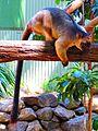 Lumholtz's tree kangaroo-02.JPG