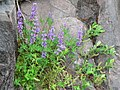 Lupine growing out of a crack in a rock. (3bd2a890870a476ca5c07a8589269b6d).JPG