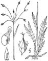 Luzula acuminata var carolinae BB-1913.png