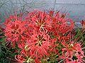 Lycoris radiata1.jpg