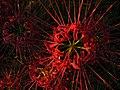 Lycoris radiata spiderlily higanbana DSCN9311.JPG