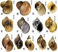 Lymnaeidae (10.3897-zse.96.52860) Figure 7.jpg