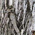 Maclura bark.jpg