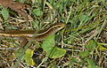 Madagascar Girdied Lizard (Zonosaurus madagascariensis) (9640893880).jpg