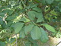 Magnolia dawsoniana - leaves 200606.JPG