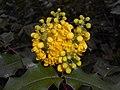 Mahonia aquifolium 2016-04-19 8020.jpg