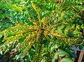 Mahonia japonica 'Hiemalis' (Berberidaceae) flowers HDR.jpg
